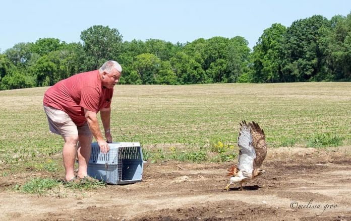 School bus driver Don Covert releases a red-tailed hawk back into the wild after it got caught on a school bus. (Photo courtesy of Finger Lakes Raptor Center, Inc. Facebook Page via photographer Melissa Groo.)